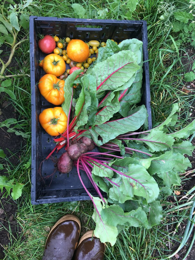 A black harvest bin sitting in the grass between rows at one of our senior gardens. It is filled with a harvest of beets, vibrant red stemmed swiss chard, four large orange heirloom tomatoes, several small yellow grape tomatoes, and two medium red tomatoes. The garden leader's brown rubber boots are peeking in at the bottom of the image.