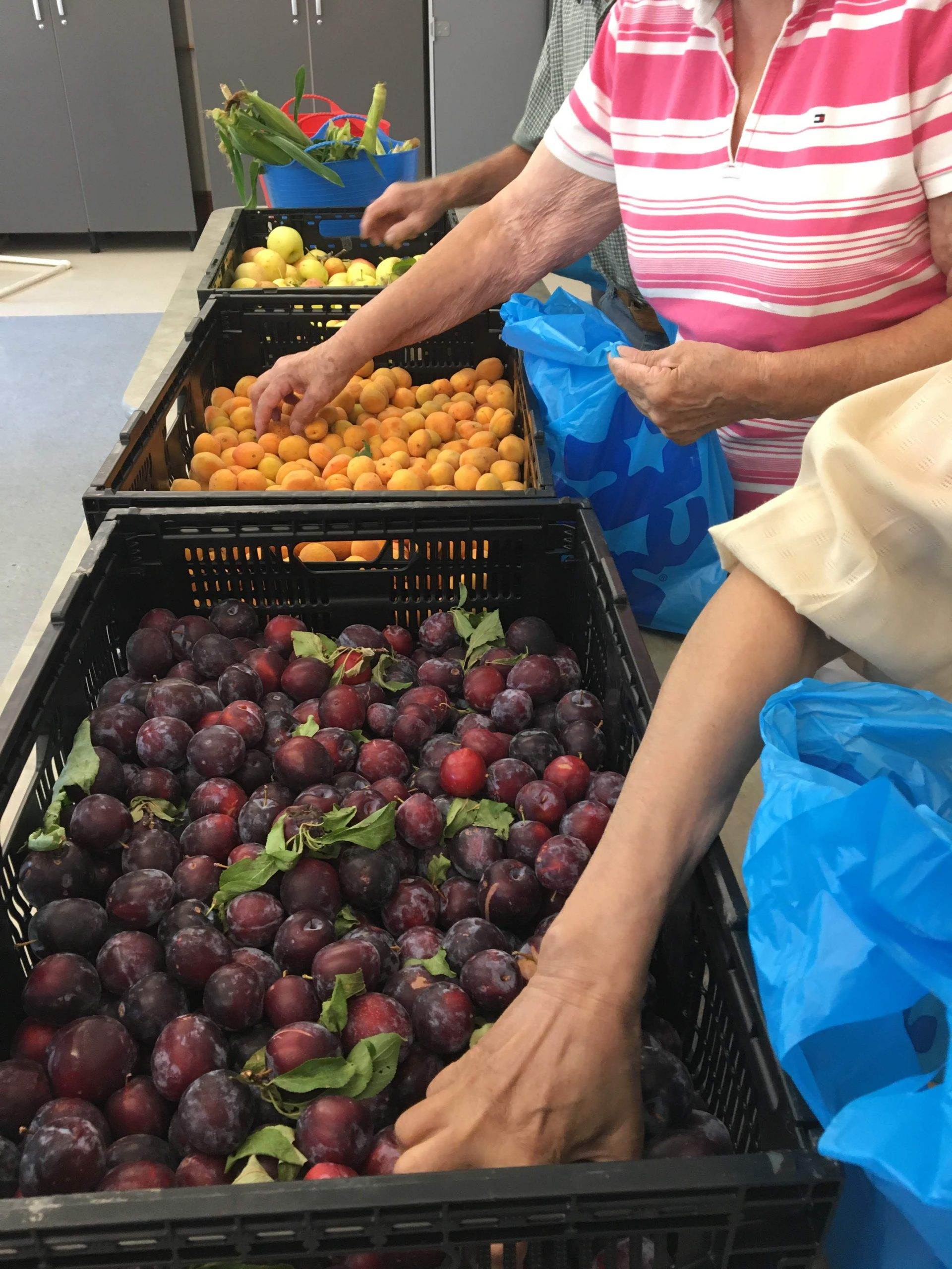 Seniors participating at a free Farm Stand. In the front of the line, a senior in a yellow short sleeve shirt is selecting plums from a black bin. Next to them is a senior woman in a pink and white striped polo selecting apricots from a black bin. In the back of the line is a senior man in a grey striped polo selecting apples from a black bin and corn from red and blue buckets. All three seniors are placing their produce in blue plastic Toys-R-Us bags.