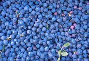 A large harvest of plums forming a sea of blue from the natural bloom