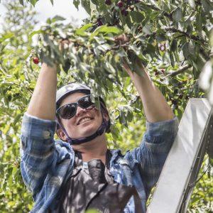 Cherry Harvesting Jenae (1)