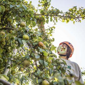 Maile harvest pears