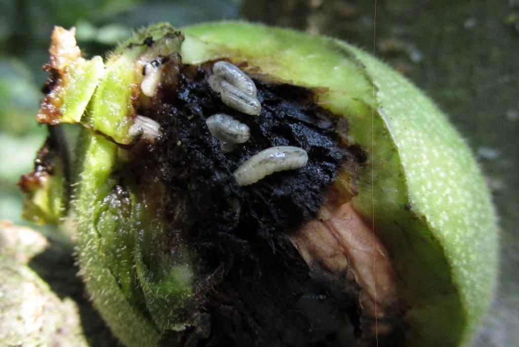 Walnussfruchtfliegenlarven