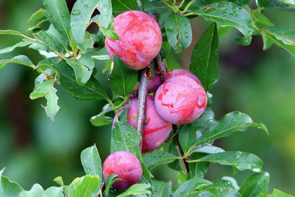 plum-fruit-on-tree