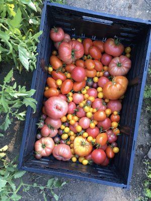 tomato harvest at Joanna;s